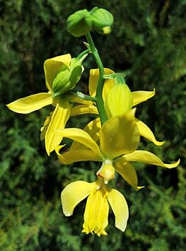 Gartenorchidee -  Calanthe sieboldii