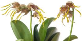 Orchidee Masdevallia ova-avis -Spinnenorchidee- Naturform