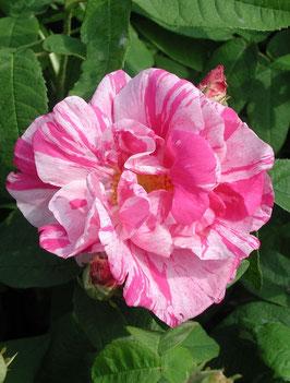 Rosa gallica versicolor