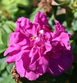 Rosa rugosa aus dem Burgund