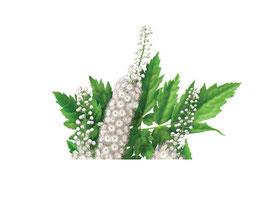 Cimicifuga Racemosa Extract (van het bovengrondse deel van de plant) 200mg capsules