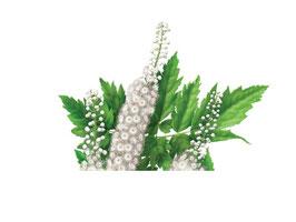 Cimicifuga Libido Extract (van het bovengrondse deel van de plant) 200mg capsules