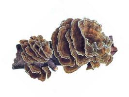 Coriolus Versicolor Extract 750mg capsules