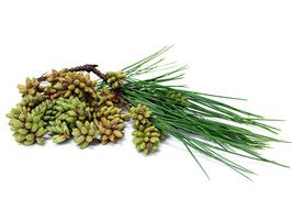 Pine Pollen Libido Extract 300mg capsules