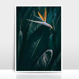 "A3 Artprint ""Bird of paradise"""