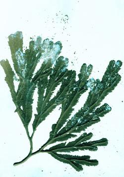 Grafikprint, Seaweed  von Pernille Folcarelli