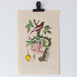 Planche 598 Pommier à bouquets - Pompadour