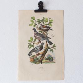 Planche 541 Pigeons
