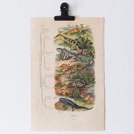 Planche 639 Reptiles