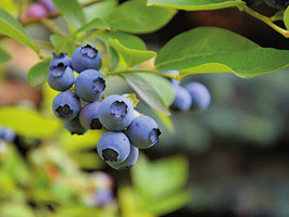 Heidelbeeren Blue Crop