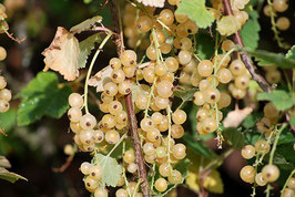Ribisel weiß Weiße Versailler (Ribes sativum)