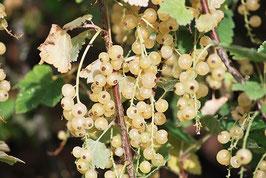 Ribisel weiß Blanka (Ribes sativum)