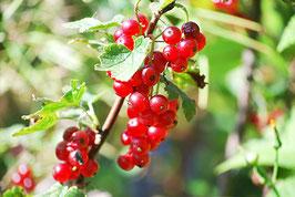 Ribisel rot Rondom (Ribes rubrum)