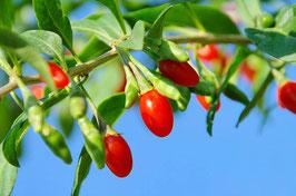 Gojibeere Sweet Lifeberry (Lyceum barbarum)