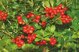 Preiselbeere Red Pearl (Vaccinium Vitis-Idaea)