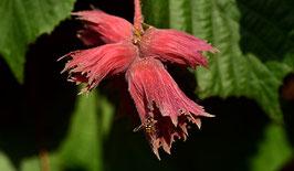 rotlaubige Haselnuss Rote Zellernuss