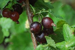 Jostabeere (Ribes x nidigrolaria)