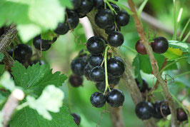 Ribisel schwarz Hedda (Ribes nigrum)