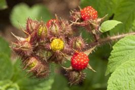 Japanische Weinbeere (Rubus Phoenicolasius)