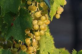 Weintrauben Arkadia (Vitis)