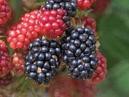 Boysenberre Dornenlos (Rubus Boysenbeery Thornless Boysenbeery)