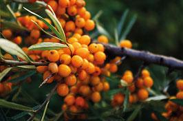Sanddorn Friesdorfer Orange (Hippophae rhamnoides)