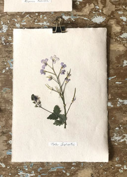Herbier violette des bois