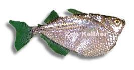 Gasteropelecus sternicla / Silberbeilbauchfisch