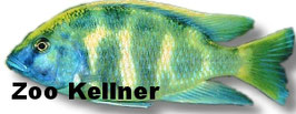 Haplochromis venustus / Pfauenmaulbrüter