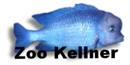 Haplochromis / Cyrtocara moorii / Beulenkopfmaulbrüter