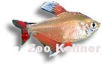 Hyphessobrycon bentosi white fin /Schmucksalmler weiss flossen (1)