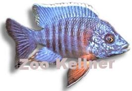 Aulonocara sp.nyassae / Kaiserbuntbarsch blau
