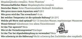 Megalamphodus sweglesi / Roter Phantom