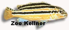 Melanochromis auratus / Türkisgoldbarsch