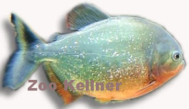 Serassalmus nattereri / Sägesalmler / Roter Piranha