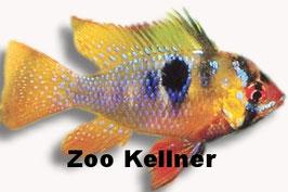 Papiliochromis ramirezi / Schmetterlingsbuntbarsch