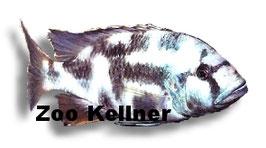 Haplochromis livingstoni