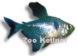 Megalamphodus megalopterus / Schwarzer Phantom