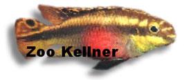 Pelvicachromis pulcher / Purpurprachtbarsch