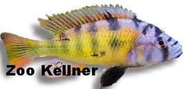 Haplochromis CH 44