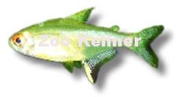 PrHyphessobrycon pulchripinnis / Zitronensalmler oduktname