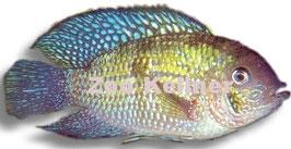 Aequidens pulcher (latifrons) / Blaupunktbuntbarsch