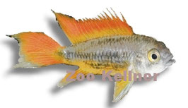 """Apistogramma cacatuoides orange / Kakadu-Zwergbb.orange"""