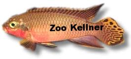 Pelvicachromis taeniatus Nigeria red / Streifenprachtbarsch