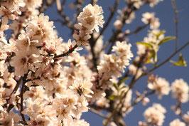 Cherry Flowers I