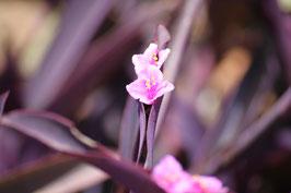 Miniatur-Pink African Flower