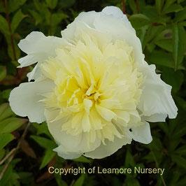 Paeonia lactiflora 'Laura Dessert' (AGM)