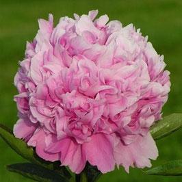 Paeonia lactiflora 'Monsieur Jules Elie' (AGM)