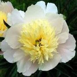 Paeonia lactiflora 'Primevère'