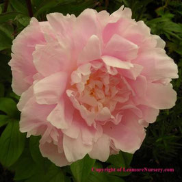 Paeonia lactiflora 'Pillow Talk'